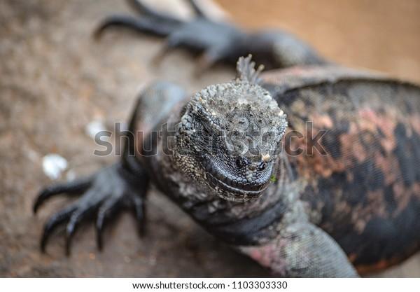 Marine Iguana Amblyrhynchus Cristatus Species Iguana Stock