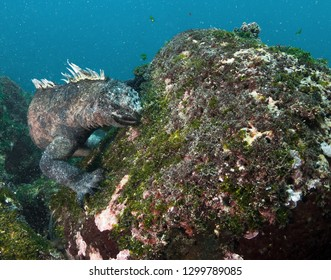 Marine Iguana feeding on seaweed in Galapagos.