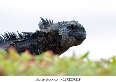 The marine Iguana of the Galapagos