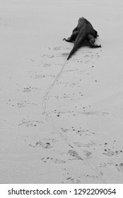 A marine Iguana leaves a trail while he walks on the beach in the Galapagos