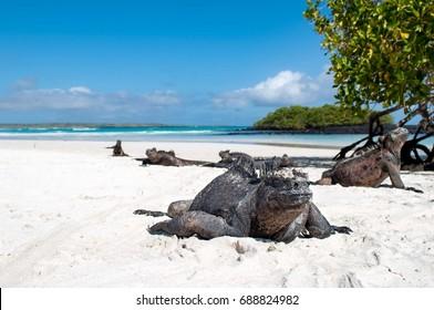 Marine Iguana taking a nap on an Island beach in the Galapagos, Ecuador.