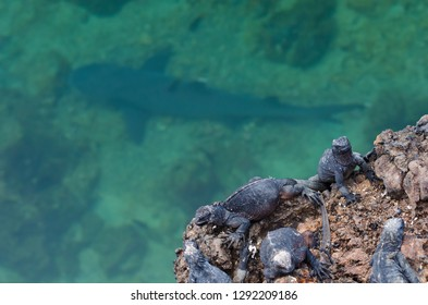 Marine iguanas sit on a ledge in the Galapagos over shallow water where a blacktip shark rests on the seabottom