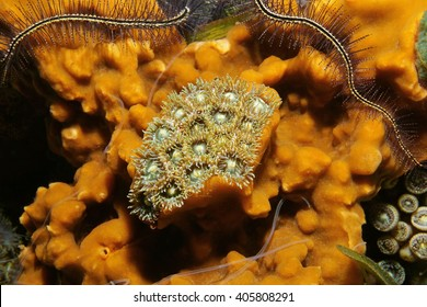Marine life, colony of mat zoanthids surrounded by cliona sea sponge, Caribbean sea