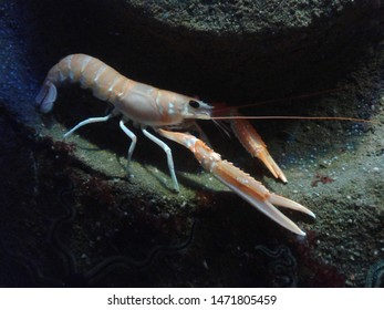Marine life: Crab (Crustacean) in ocean or dark saltwater aquarium. Marine biologists work with ocean animals. Under water world scene during scuba diving adventure in deep dark water.