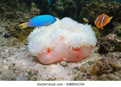 Marine life, a Magnificent sea anemone, Heteractis magnifica, with colorful tropical fish, Bora Bora, Pacific ocean, French Polynesia