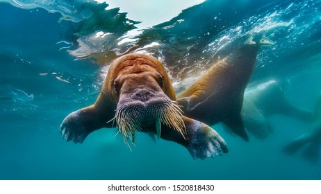 Marine mammal walrus swimming in the Arctic Ocean, Arctic Ocean is surrounded by Eurasia and North America