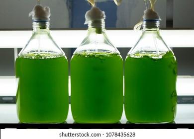 Marine plankton culture (Chlorella sp.) with light and oxygen in Scientific laboratory