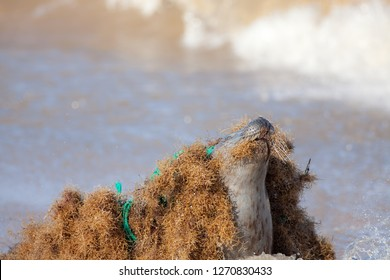 Marine pollution. Seal caught tangled in nylon plastic fishing net discarded at sea. Abandoned fishing gear and environmental waste endangering wildlife. Animal conservation image with copy-space.