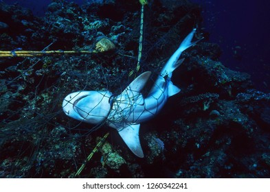 Marine Protection / Ocean Environmental Destruction / Dead Shark entangled in a fishing net and strangled to death