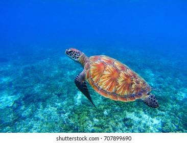 Marine turtle in seawater. Sea tortoise underwater photo. Sea turtle in coral reef. Coral reef environment. Tropical island vacation activity. Snorkeling in tropic seashore. Marine animal in nature