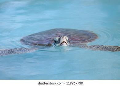 Marine Turtle swimming in Cayo Largo water near Cuba island