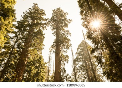 Mariposa grove at Yosemite National Park contains over 100 mature Giant Sequoias