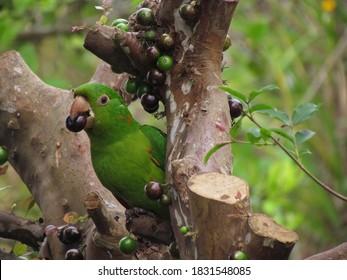 Maritaca eating Jaboticaba. A brazilian bird eating a brazilian fruit.