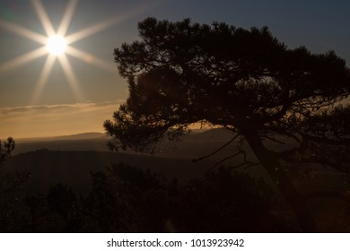 Maritime pine and sun at sunrise. Pinus pinaster.