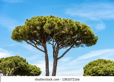 Maritime pine trees with trunk and green needles on a blue sky with clouds. Mediterranean region, Ostia antica, Rome, Italy, Europe