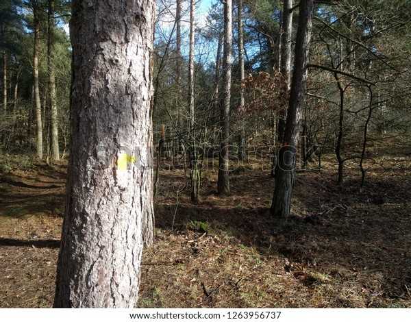 Marked pine trees in mixed forest. Trees are marked with paint to be cut or left as per the forest management plan.