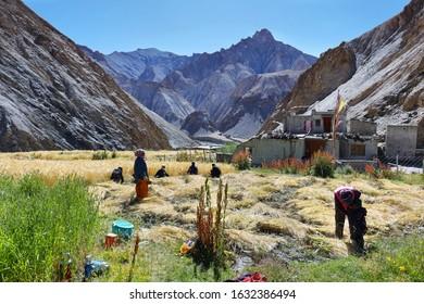 Markha, India - September 12, 2019: People harvesting wheat in Hankar village along the Markha Valley trek, Ladakh region, northern India
