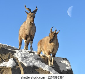 Markhor (Capra falconeri). Two (female and male) on background of moon in winter