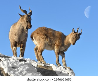 Markhor (Capra falconeri). Two on background of moon in winter