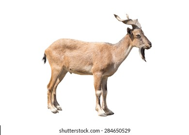 Markhor isolated on the white background.  This is a large species of wild goat that is found in northeastern Afghanistan.