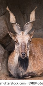 Markhor in Moscow zoo