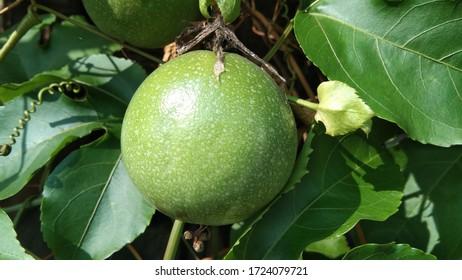 markisah fruit photo background image
