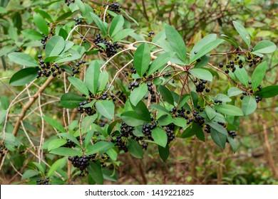 Marlberry (Ardisia escallonioides) - Pine Island Ridge Natural Area, Davie, Florida, USA