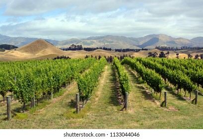 Marlborough Vineyard in mid-Summer, New Zealand. Sauvignon Blanc grape vines in the foreground.