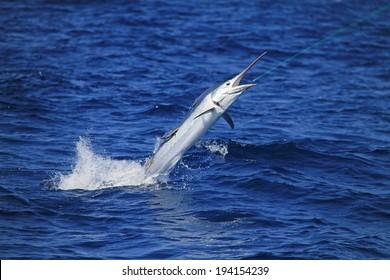 Marlin coming  at you
