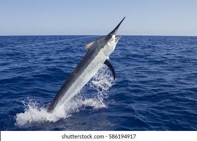 Marlin in the Coral Sea