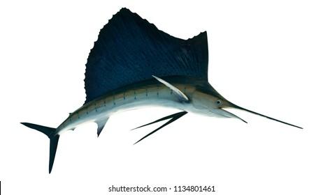 Marlin - Swordfish,Sailfish saltwater fish (Istiophorus) isolated on white background