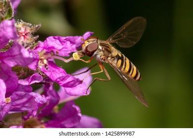 Marmalade hoverfly (Episyrphus balteatus) collecting pollen on a blossom