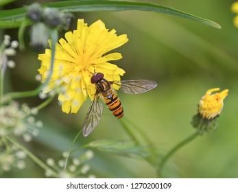 Marmalade Hoverfly (Episyrphus balteatus) distinctive orange black pattern, resting on yellow flower, green background