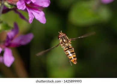 Marmalade hoverfly (Episyrphus balteatus) hovering in front of some blossom