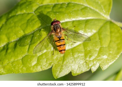 Marmalade hoverfly (Episyrphus balteatus) resting on a leaf