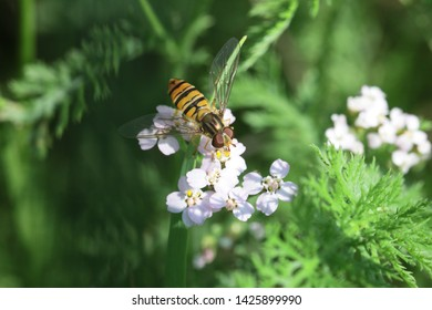 Marmalade hoverfly (Episyrphus balteatus) resting on small blossoms