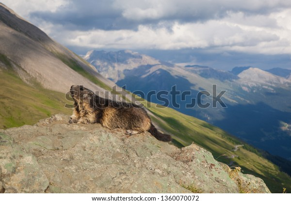 A marmont on a sun in Hohe Tauern National Park in Austria