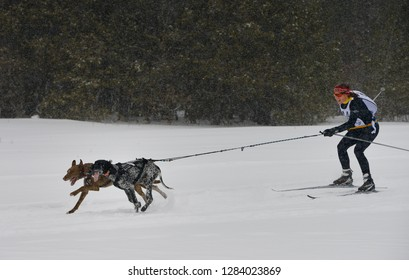 Marmora, Ontario, Canada - February 1, 2014: Female racing in a skijoring event with two dogs in a winter snowstorm