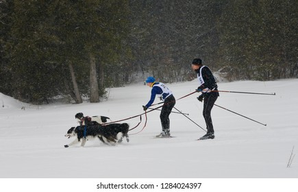 Marmora, Ontario, Canada - February 1, 2014: One Skijoring racer passing another on the trail in a two dog event in Marmora