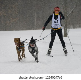 Marmora, Ontario, Canada - February 1, 2014: Female racing in a snowstorm with two dogs in a skijoring event Marmora Canada