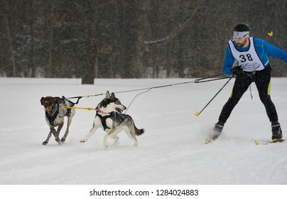 Marmora, Ontario, Canada - February 1, 2014: Two dogs being corrected after going off track in a Skijoring event in Marmora
