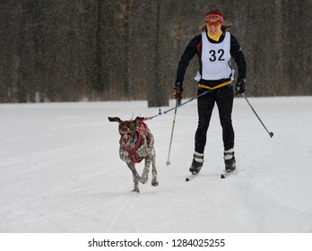 Marmora, Ontario, Canada - February 1, 2014: Female racing in a snowstorm with one gasping dog in a skijoring event Marmora Canada