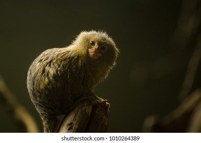 A Marmoset perches