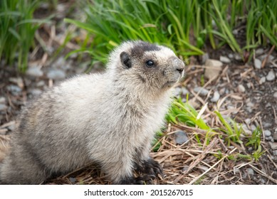Marmot In The Alaska Mountains