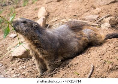 marmot with alopecia areata