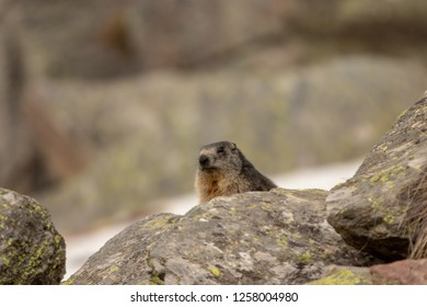 Marmot  in Ceresole Reale