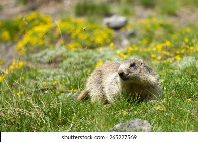 a marmot in the french alps