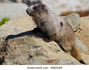 Marmot of guard