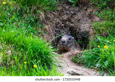 Marmot hiding in the entrance of its burrow in the south Tyrol alps