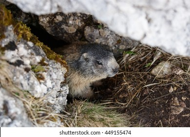 Marmot, hiding in his den under a rock in mountain landscape, hiding in safety from predators. Wildlife, protected natural park area concept.